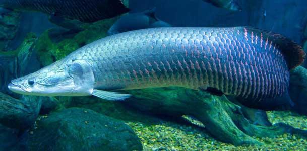 """""""ปลาช่อนยักษ์อเมซอน"""" ตัวทำลายระบบนิเวศ"""